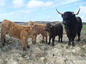 cattle on the croft